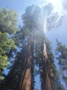 Sun peeking through a pair of redwoods