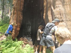 Hikers walk up to the burnt redwood and gives one a sense of how giant these trees are