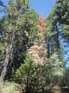 Example of a dead tree along the trail from a controlled burn last year
