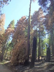 Trees killed during a recent controlled burn.  They start these to help prevent a real fire from spreading rapidly